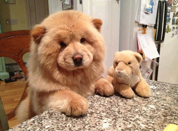 puppies that look like teddy bears